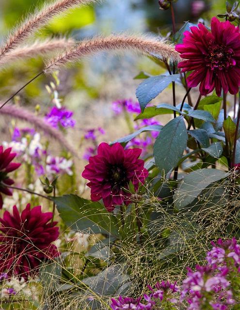 dahlia in tuin met andere bloemen