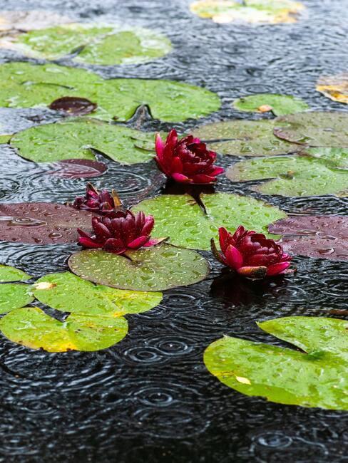 rode bloemen in het water