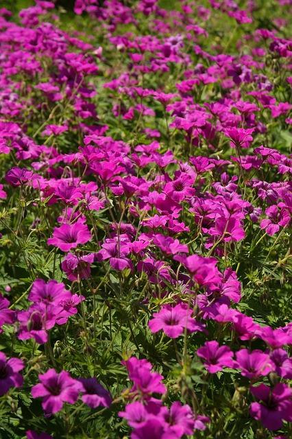 tuin vol met geranium macrorrhizum