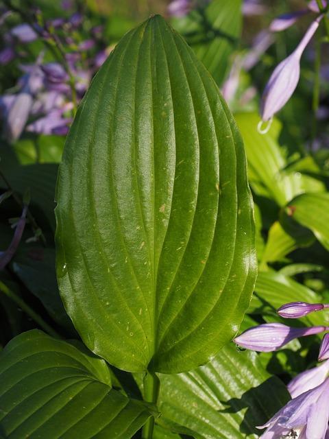 hosta plant: schaduwplanten
