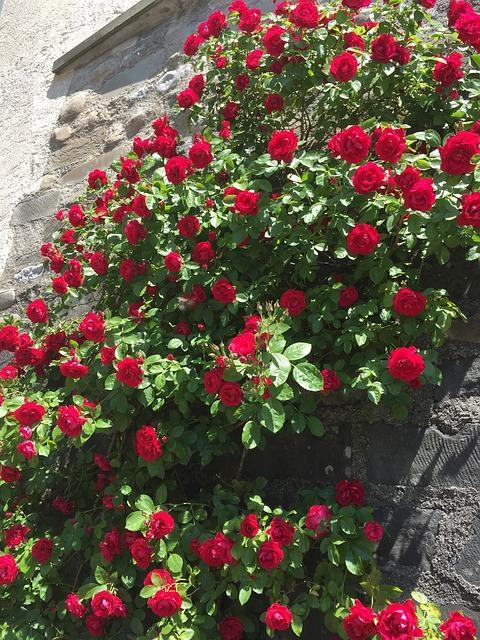 rode klimroos tegen muur
