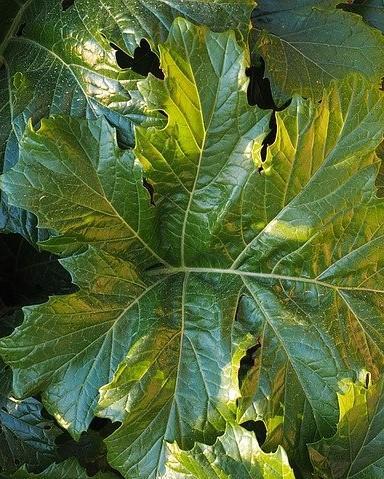 blad van de acanthus