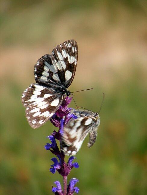 salvia nemorosa met vlinders