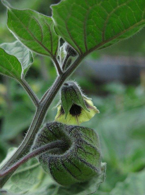 lampionplant in bloei