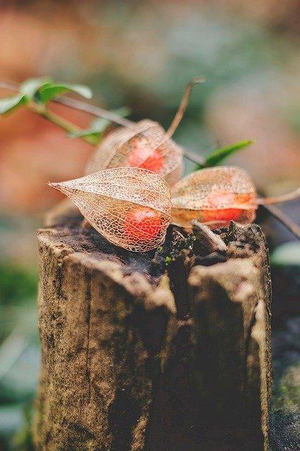 lampionplant met vrucht op boomstronk