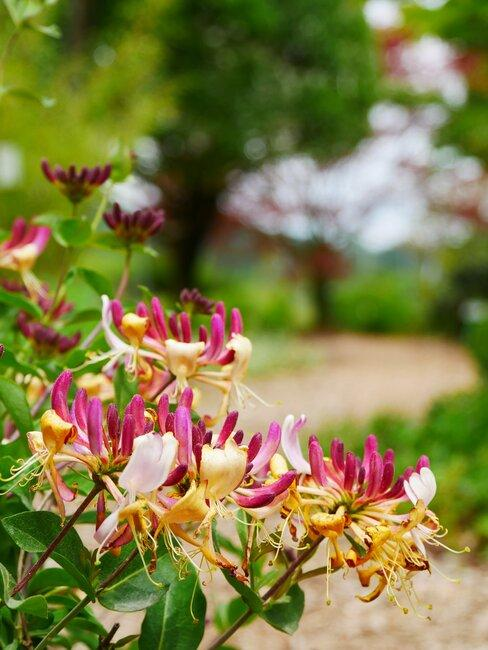 lonicera in tuin met gele en roze bloemen