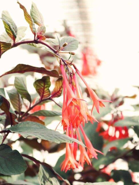 lonicera: een tropische klimplant