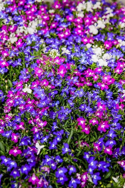 lobelia in verschillende kleuren