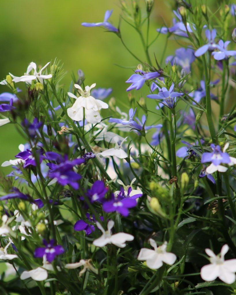 witte blauwe en paarse lobelia