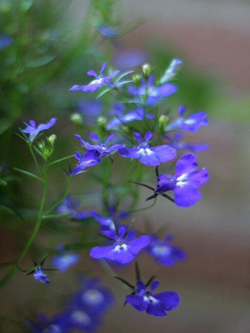 lobelia met paarse bloemen