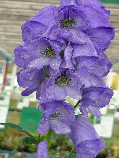 paarse monnikskap plant