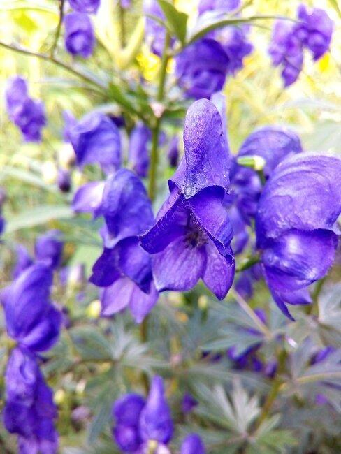 aconitum met paarse bloemen