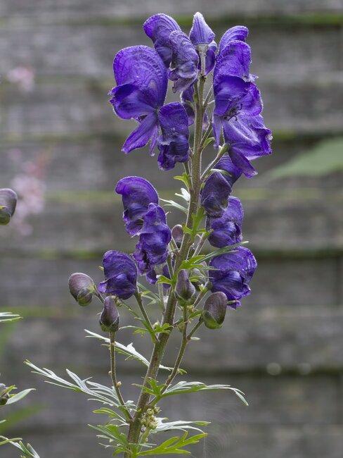 monnikskap met paarse bloemen