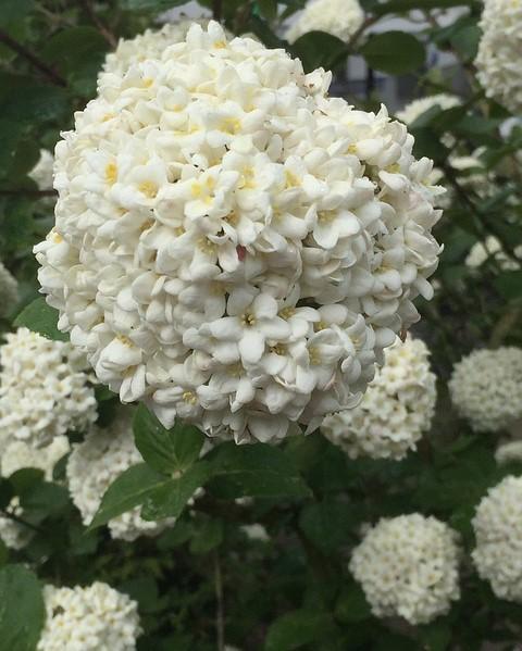 viburnum tinus met witte bloemen