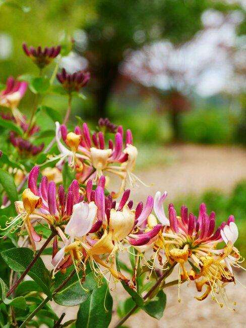 lonicera met roze en gele bloemen