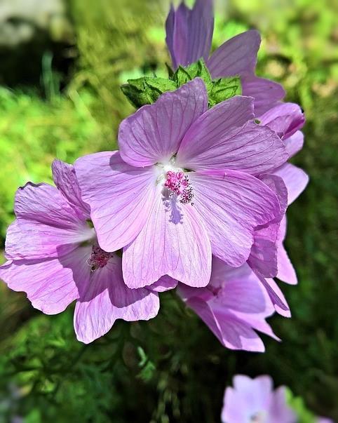 paarse struikmalva