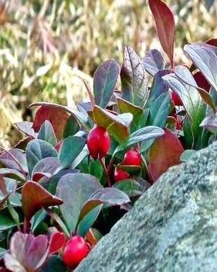 gaultheria plant met een grote steen
