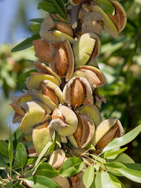 vruchten van de amandelboom