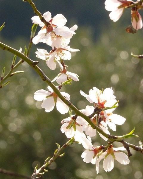 witte bloemen aan een tak