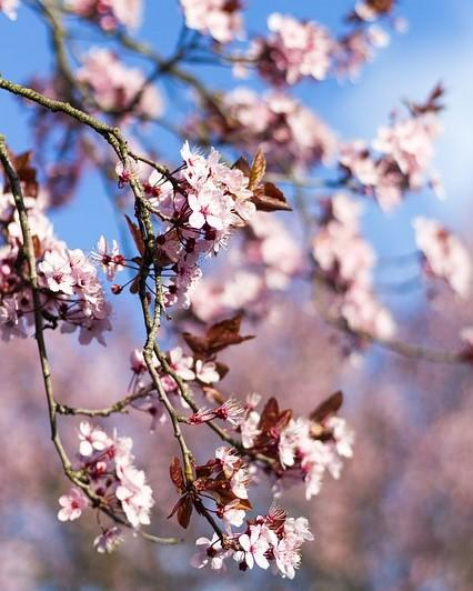 amandelboom: prachtig bloesem