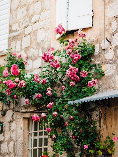 roze klimroos
