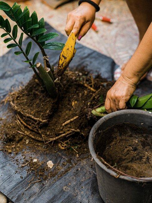 het poten van een nieuwe plant in de aarde