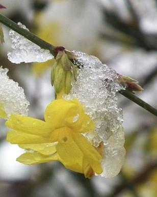winterjasmijn bloeit in de winterperiode