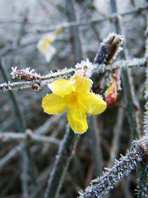 winterjasmijn in bloei