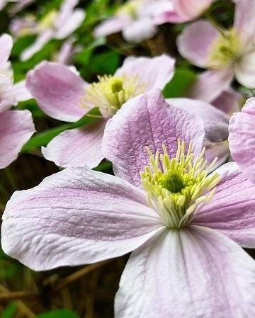 clematis met roze bloemen