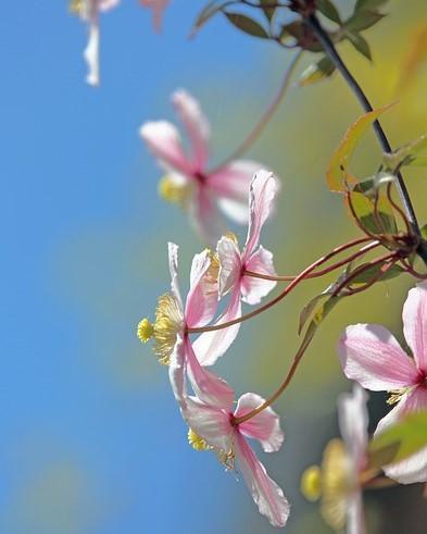 klimplant clematis montana