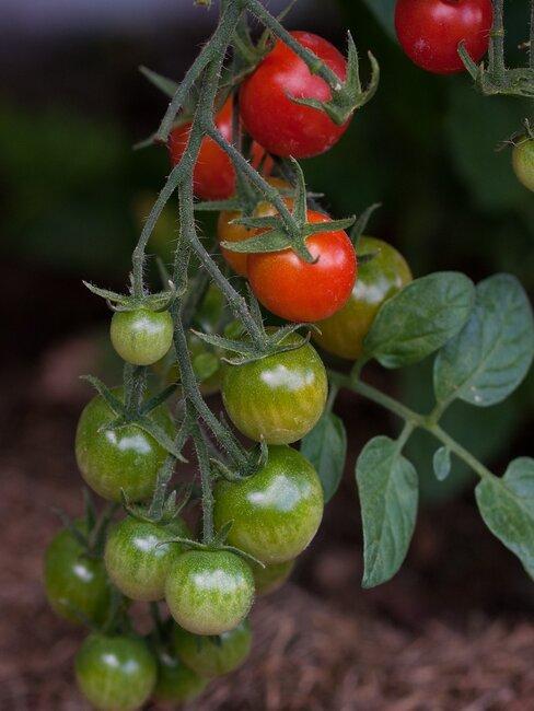 tomaten kweken: rijpende tomaten