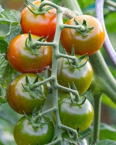 tomatenplant met rijpe en onrijpe tomaten