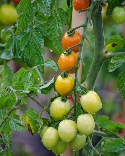 kleine soorten tomaten kweken