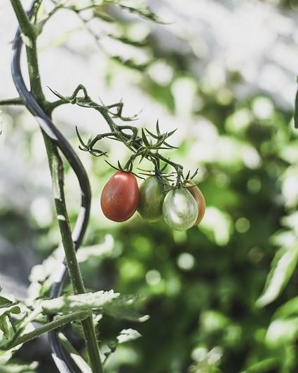 tomaten kweken en oogsten