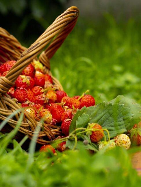 rieten mand met verse aardbeien