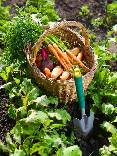 een moestuin met een rieten mand en verse groenten