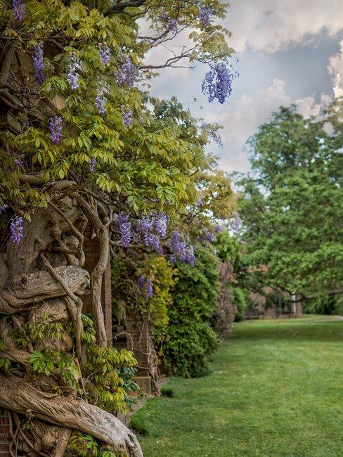 gras in tuin met bomen en paarse bloemen