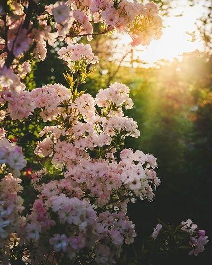 roze bloemen struik