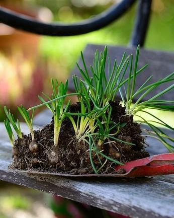 schop met aarde en planten op een bankje