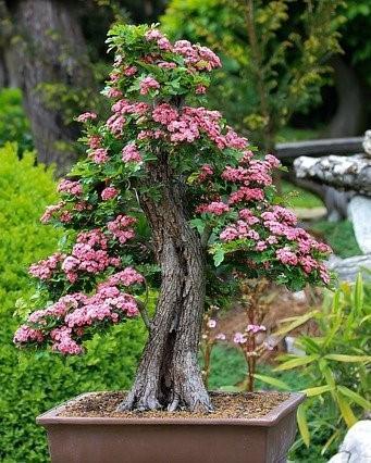 bonsai boompje