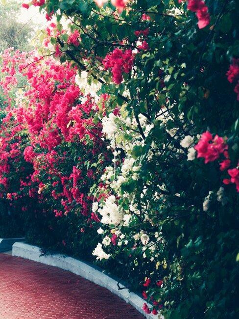 border tuin met roze en witte bloemen