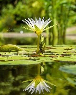 witte bloem op het water