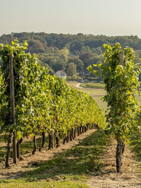 Wijngaard in Limburg