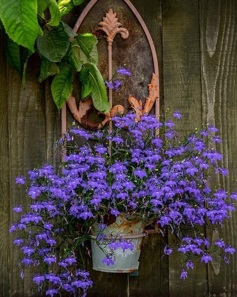 paarse bloemen in ijzeren pot