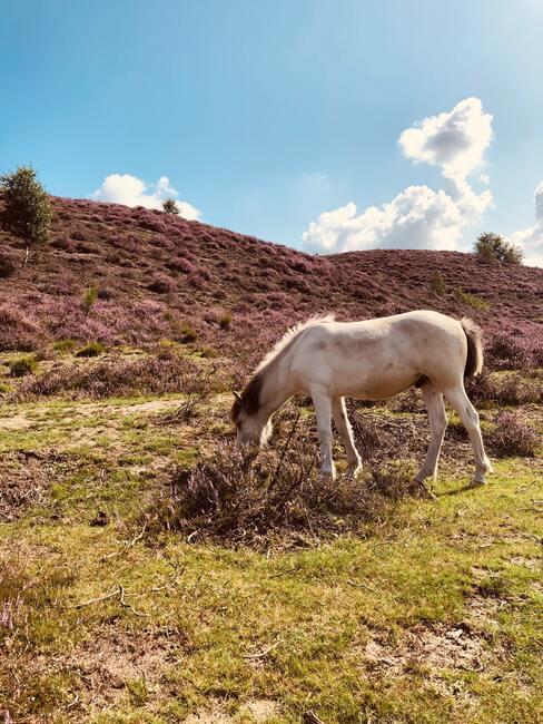 paard dat aan het grazen is