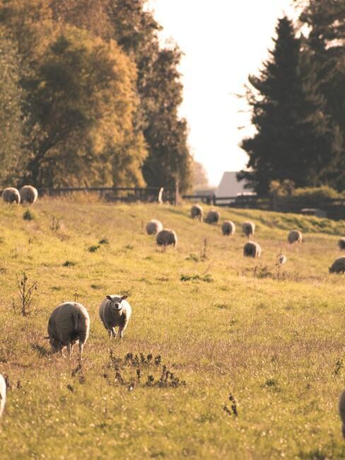 natuurgebied in Nederland: schapen in een wei