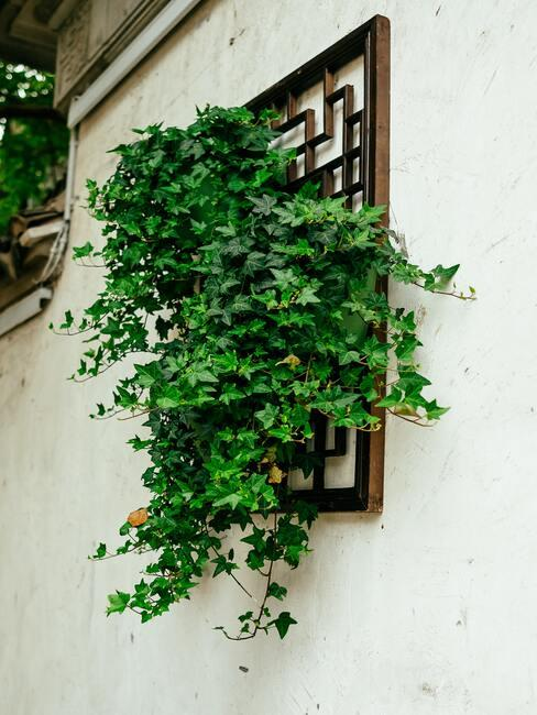 klimop op een muur
