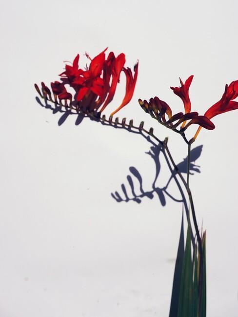 rode bloem in zwarte vaas