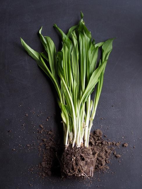 Roślina wyciągnięta z doniczki z ziemią