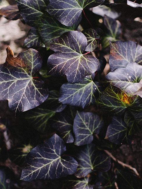 liście żurawki
